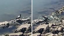 Taube spaziert auf Krokodil