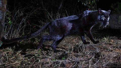 Schwarze Leoparden in Afrika