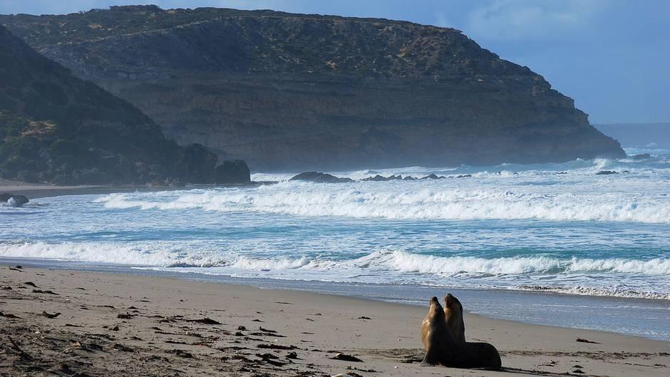 Endlich an Land: Australische Seelöwen sind ihrer Kolonie treu und kehren nach mehreren Tagen im Meer zum selben Ort zurück