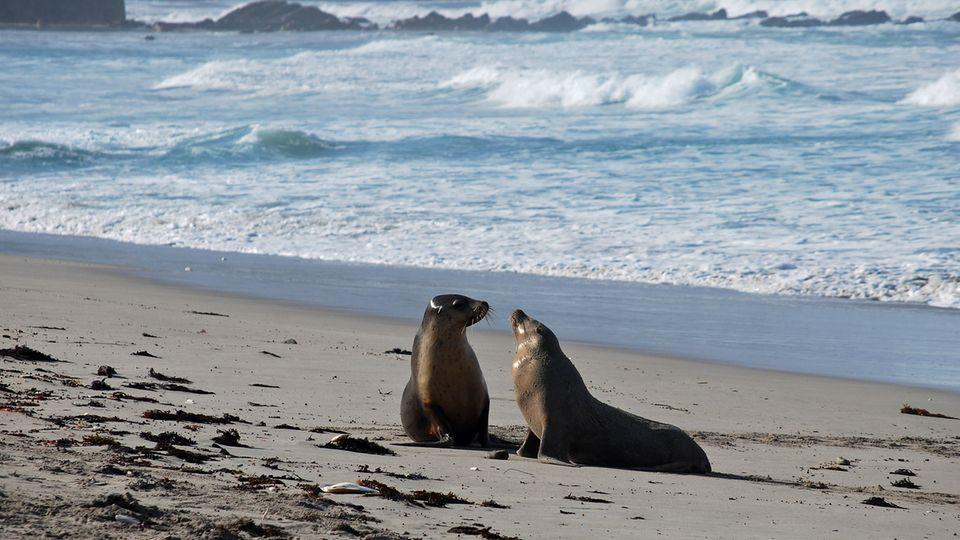 Seal Bay an der Südküste: Zwei Jungtiere kommen aus den Wellen des Indischen Ozeans und beschnuppern sich