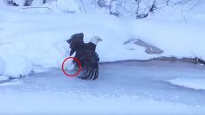 USA: Weißkopfadler wird riesige Eiskugel fast zum Verhängnis