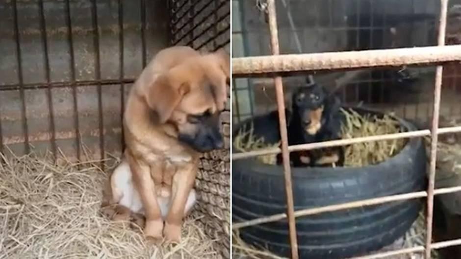 Südkoreanische Hunde-Farm : Grausame Käfig-Haltung: Aktivisten retten 200 Hunde vor der Schlachtung