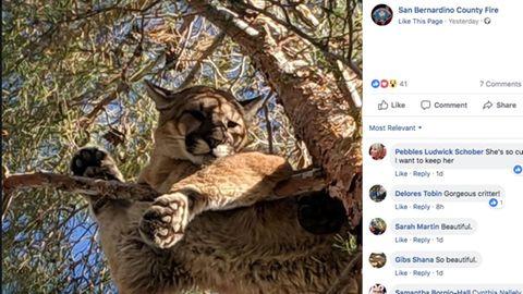 Screenshot: Ein Puma sitzt in einem Baum in Kalifornien