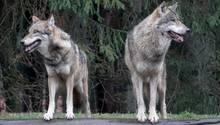 Wölfe stehen in ihrem Gehege im Wildpark Eekholt (Symbolbild)