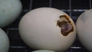 Ein Küken schlüpft aus einem Ei