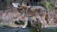 Wölfe in Niedersachen