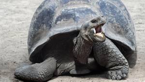Eine Galápagos-Schildkröte der Art Chelonoidis Nigra. Ihre ausgestorben geglaubte Verwandte Phantasticus wurde jetzt entdeckt