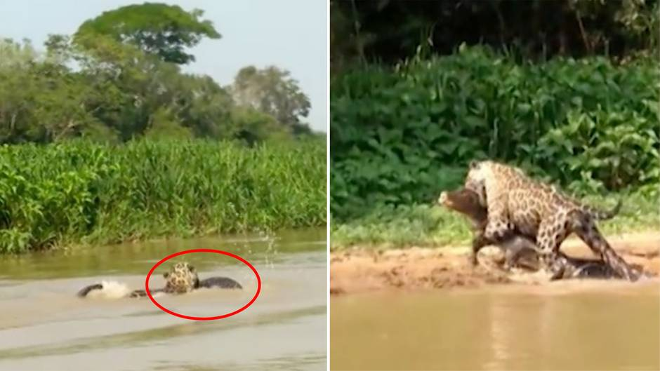 Brasilien: Spektakuläre Jagd – Jaguar schnappt sich Krokodil