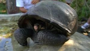 Riesen-Schildkröte auf den Galapagos Inseln entdeckt