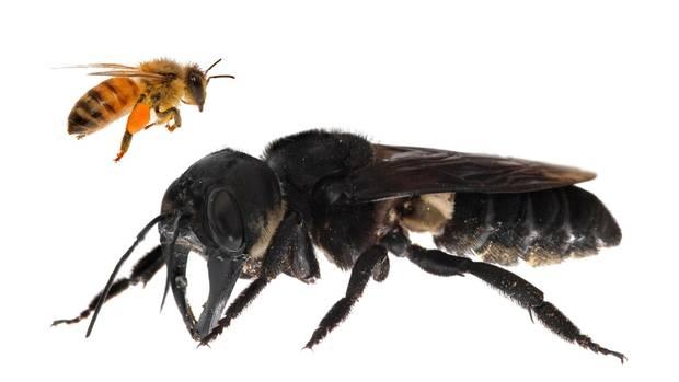 Die Wallace-Riesenbiene im Vergleich zu einer Honigbiene