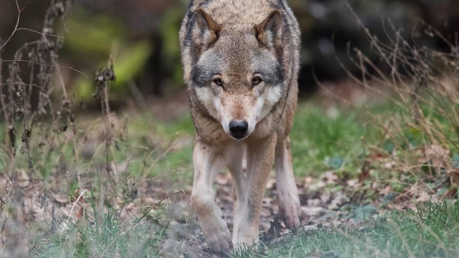 Die beiden Männer hielten den Wolf, ähnlich diesem hier, zunächst für einen Hund