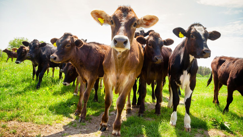 Kuh-Herde