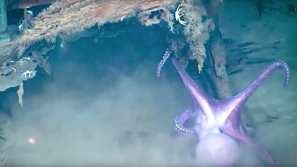 Mexiko: Kraken kämpfen um ruhiges Plätzchen in der Tiefsee
