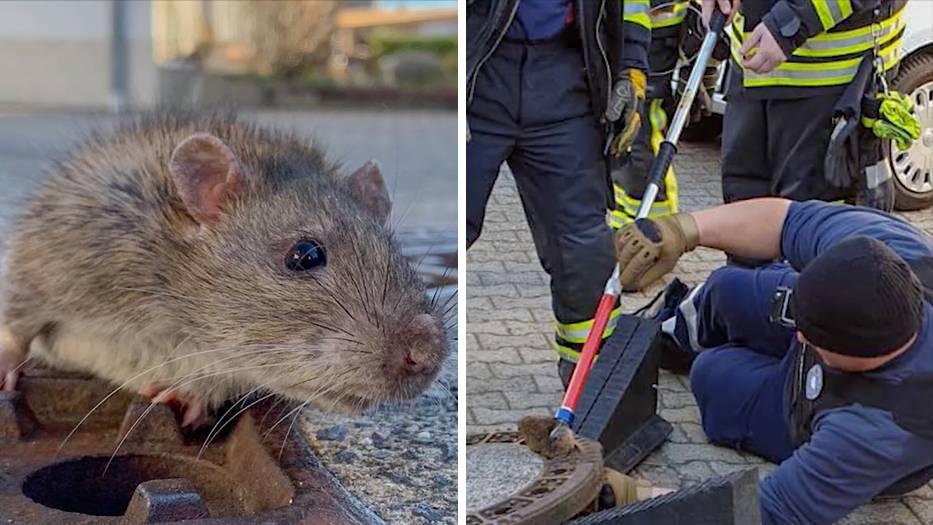 Feuerwehr im Einsatz: Ratte steckt in Gully fest - mit acht Mann klappt die Rettung