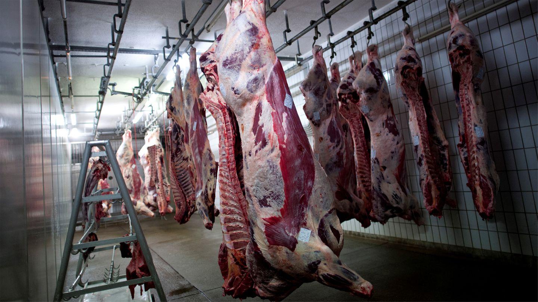 Rinder im Kühlraum eines Schlachthofs