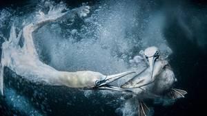 """Großbritannien, 1. Platz, National Awards:  Bei ihrer Reise nachShetland, einer Inselgruppe vor Schottland, wollte die FotografinTracey Lund vor allem Tölpel bei ihrer Unterwasserjagd nach Fischen fotografieren. """"Es war eine unglaubliche Erfahrung, zu sehen, was unter Wasser passiert, und ich werde es nie vergessen"""", sagte sie über ihre Arbeit."""