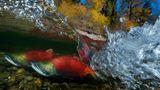 Taiwan, 1. Platz, National Awards:  Diese spezifische Art von Lachsen hat nur ein einziges Ziel in ihrem Leben: Aus dem fernen Meer an die Westküste Kanadas kehren sie zur Mündung des Fluss zurück, wo sie einst auf die Welt kamen - nur um sich dort zu paaren und danach zu sterben.