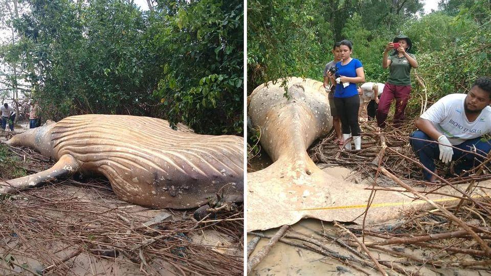 Toter Buckelwal im Dschungel entdeckt