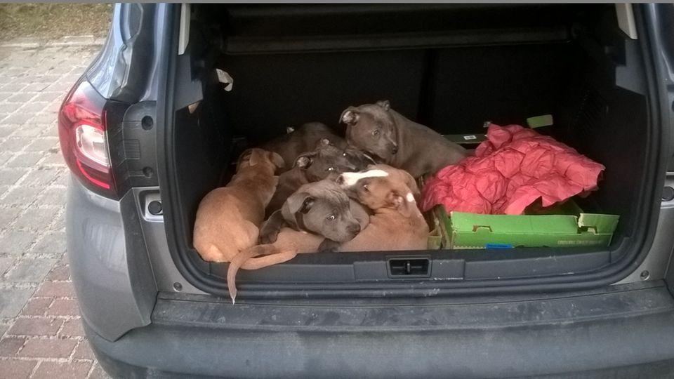 Zehn Hundewelpen liegen im Kofferraum eines Renaults.
