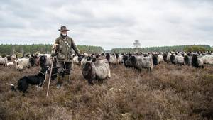 Wolf in Lüneburger Heide: Warum ein Schäfer jetzt aufrüstet