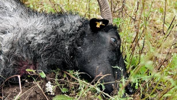 Ein Schaf erledigt der Wolf mit einem schnellen Biss in die Kehle