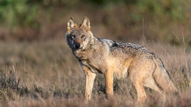 Wenn der Wolf Beute macht, unterscheidet er nicht zwischen Nutz- und Wildtier