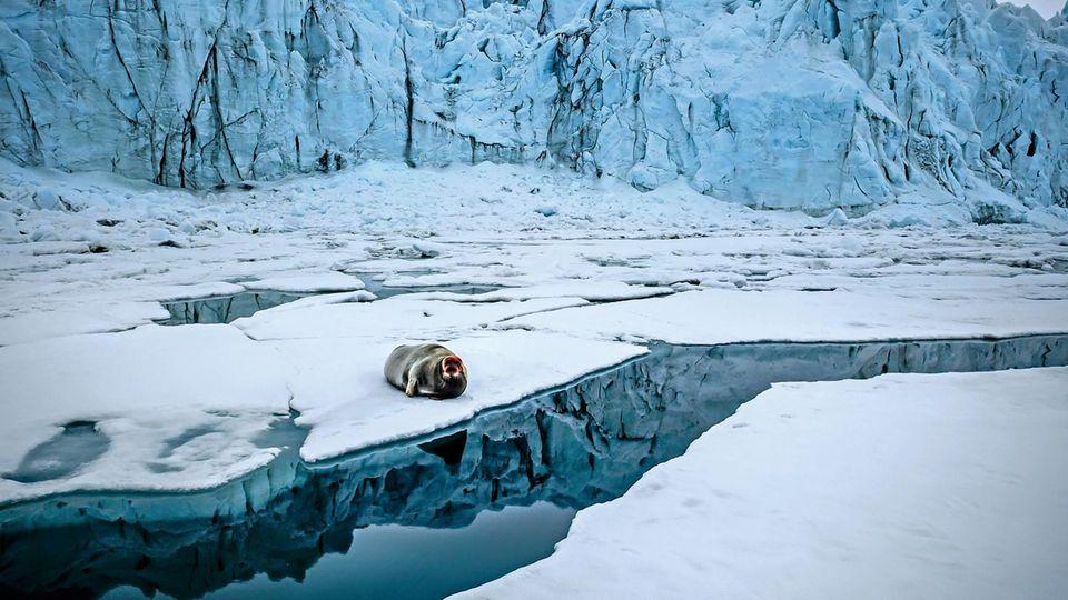Der rote Kopf dieser entspannten Bartrobbe kommt vom Fressen: Der Meeresboden vor Spitzbergen enthält Eisenpartikel, die sich im Fell festsetzen