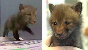 In der Nähe von London päppelt dieTierrettungsorganisationWildlife Aid einverwaisten Fuchsbaby auf.