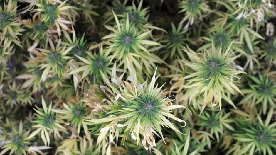 In Greifswald könnte bald medizinisches Cannabis angebaut werden