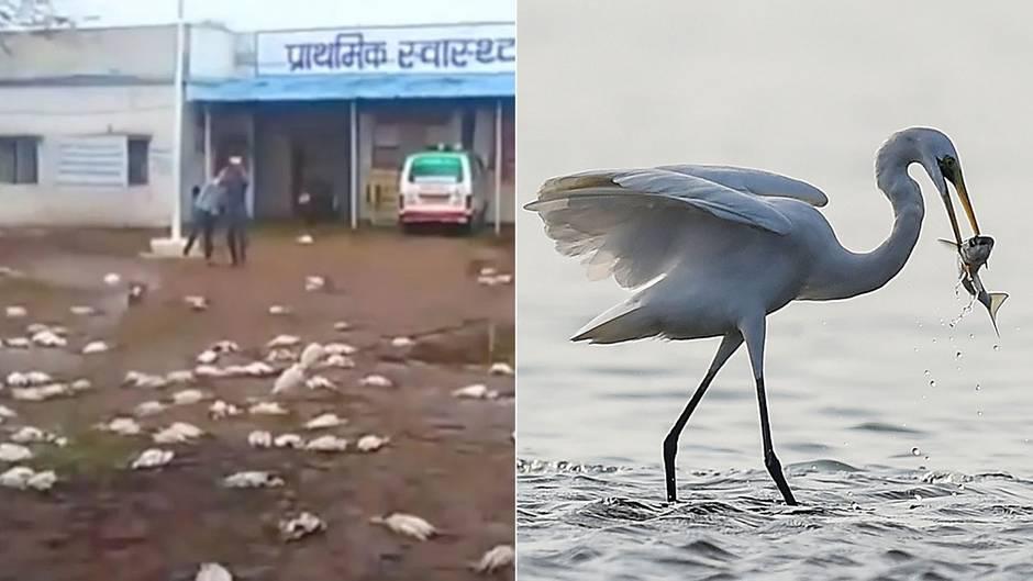 Hagel erschlägt mehr als 1000 Vögel in Nordindien - darunter auch 590 Reiher