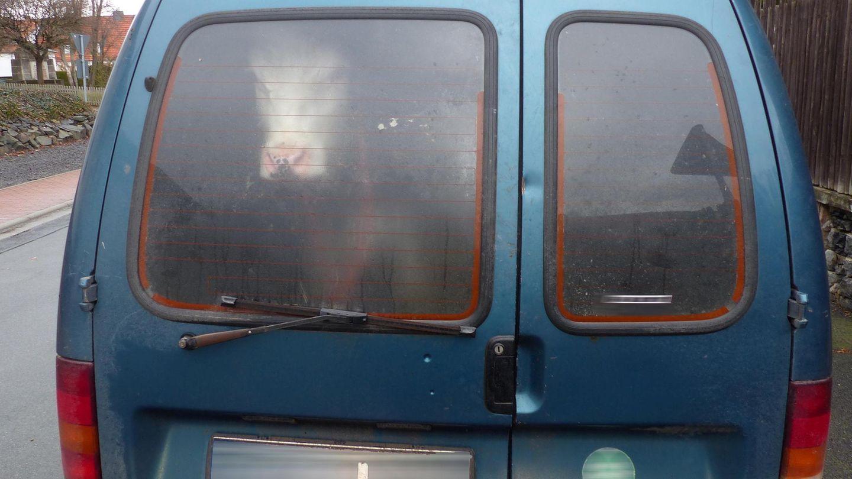 Ein Rind schaut aus dem Heckfenster eines Kastenwagens