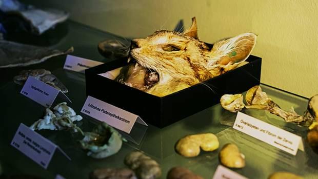 Die angehenden Tierärzte und Pathologen lernen an totenund lebenden Objekten