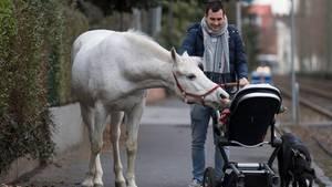 """Neugierig beschnuppert die Araberstute """"Jenny"""" auf ihrem täglichen Spaziergang ein Kind"""