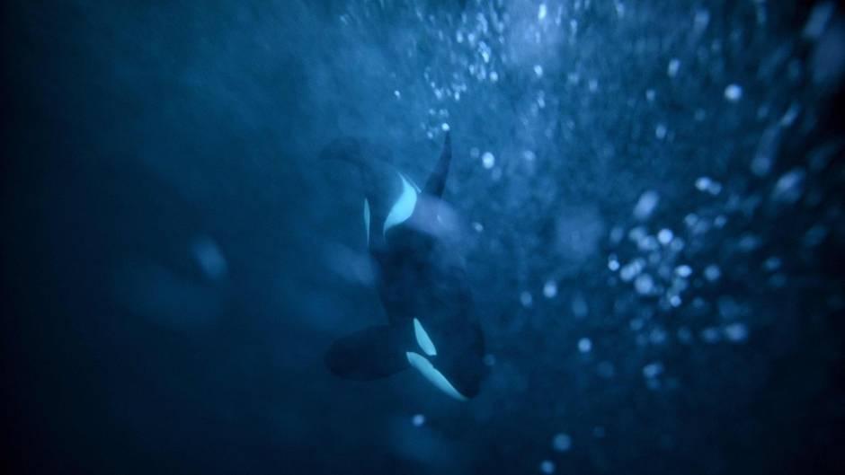 """""""Typ D"""": Das größte bisher unklassifizierte Tier der Welt? Forscher untersuchen Orcas vor Chile"""