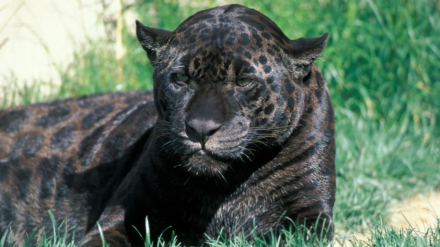 Jaguar in Zoo