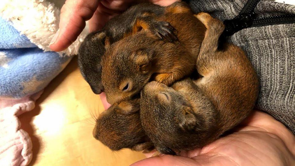 Vier Eichhörnchen-Babys vor dem sicheren Tod gerettet