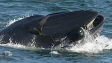 Deutscher Taucher wird fast von Wal verschluckt