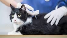 Katze erhält eine Spritze beim Tierarzt