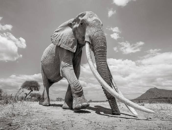Eine Elefantenkuh mit Stoßzähnen fast so lang wie sie selbst
