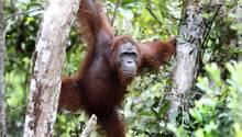 Orang-Utan in Indonesien mit 74 Schüssen durchlöchert