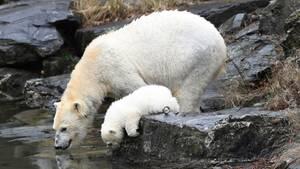 Das drei Monate alte,noch namenlose Eisbärmädchen im Tierpark Berlin prüftmit Mama Tonja die Wassertemperatur.