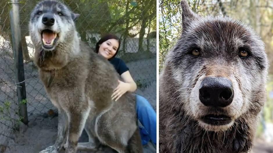 Riesiger Begleiter: Wolf oder Hund? Warum die Geschichte dieses Vierbeiners viral geht