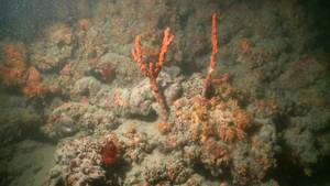 Korallenriff im Mittelmeer vor Italien entdeckt