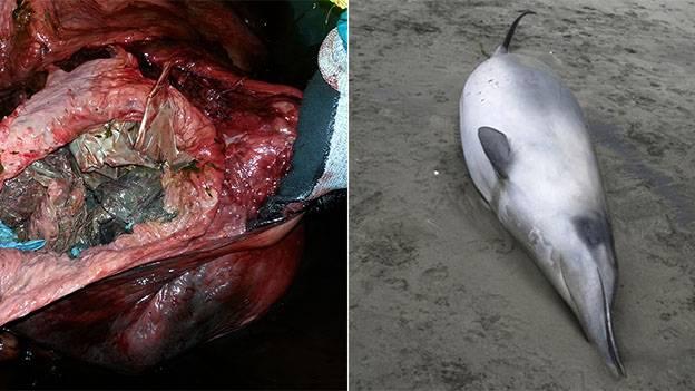 Abgemagert und dehydriert: Forscher untersuchen verendeten Schnabelwal und machen schaurige Entdeckung