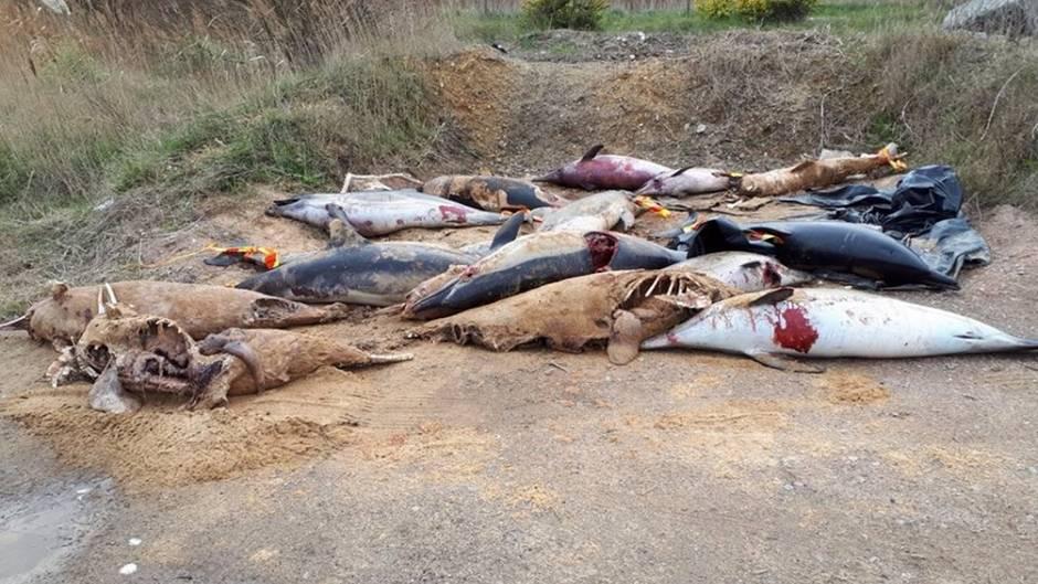 An der Küste Frankreichs: Tote Delfine stapeln sich am Strand: Aktivisten offenbaren grausame Realität der Fischindustrie