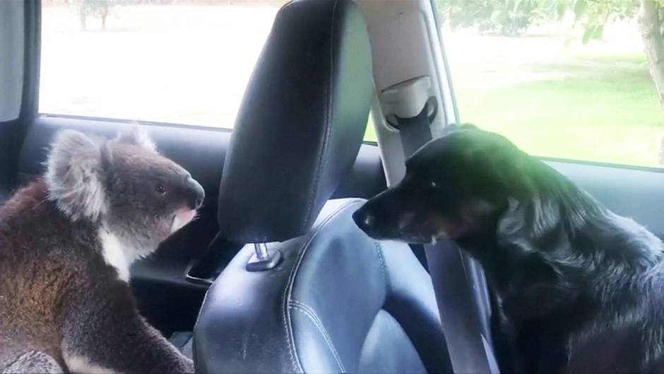 Da staunt auch der Hund: Dieser Koala macht es sich auf dem Rücksitz gemütlich – und will gar nicht mehr gehen