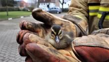 Entenküken in Lübeck: Feuerwehr rettet sechs Küken aus luftiger Höhe