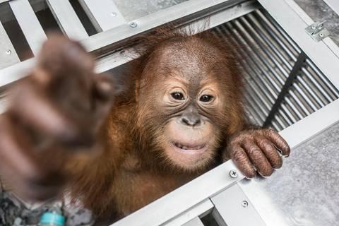 Russian Airlines: Er wollte ein Haustier: Russe schmuggelt unter Drogen gesetzten Orang-Utan im Koffer