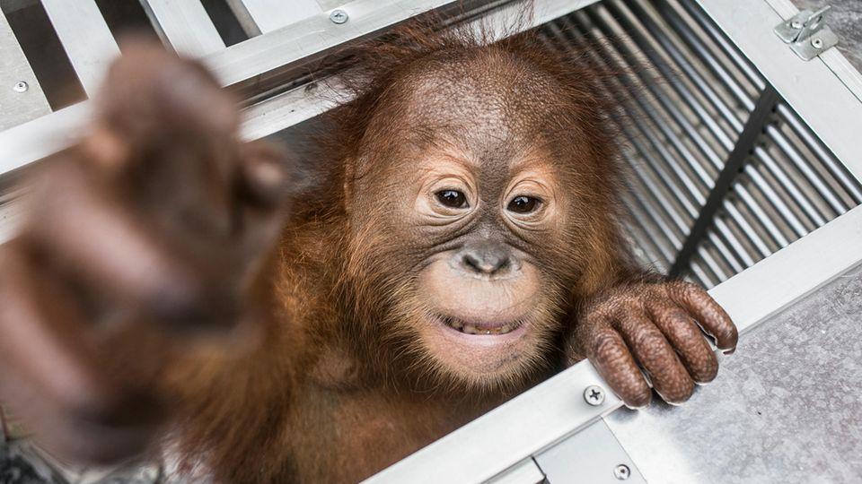 Dieser Orang-Utan wurde aus dem Koffer befreit. Er wurde am Flughafen von der Tierschutz-Behörde abgeholt.