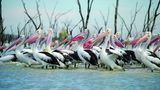 Besuch bei Pelikans  Der Erysee ist Australiens größer See ist etwa halb so groß wieSachsen - jedenfalls wenn er mit Wasser gefüllt, was etwa alle drei Jahre vorkommt. In der Zeit dazwischen fällt der See nahezu trocken. Doch immer wenn sich der See mit Wasser füllt, kommen Scharen von Pelikanen Hunderte Kilometer von der Küste angeflogen und bilden riesige spontane Kolonien, die sich von den Fischen des Sees ernähren und hier brüten. Eine Kolonie kann aus einer halben Million Vögel bestehen. Bislang ist nicht klar, vorher die Vögel wissen, wann sie zum Erysee aufbrechen sollen.
